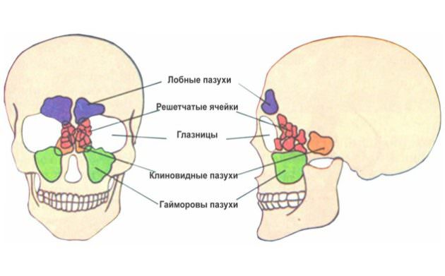 6Пазухи Анатомия рис.jpg