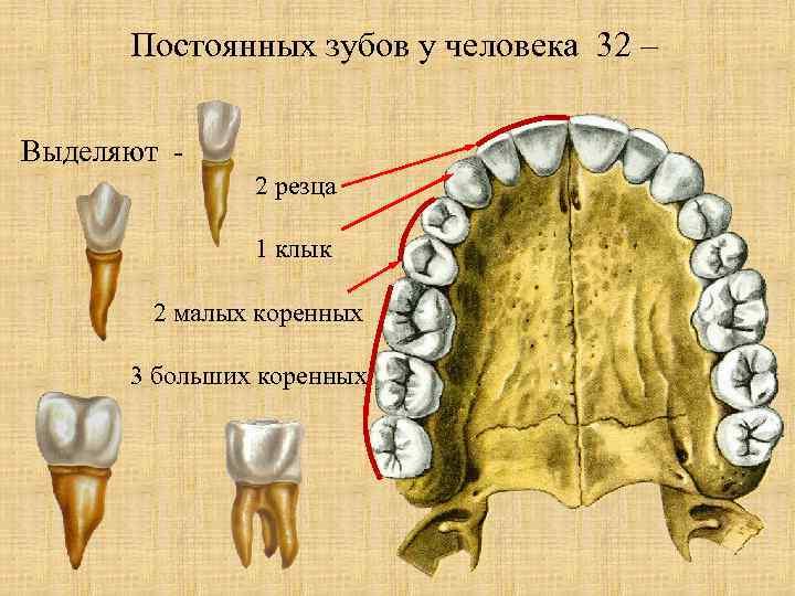 5Виды зубов.jpg