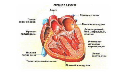 4натомия сердца.jpg