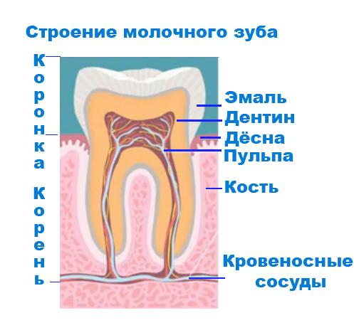 38Строение молочного зуба.jpg