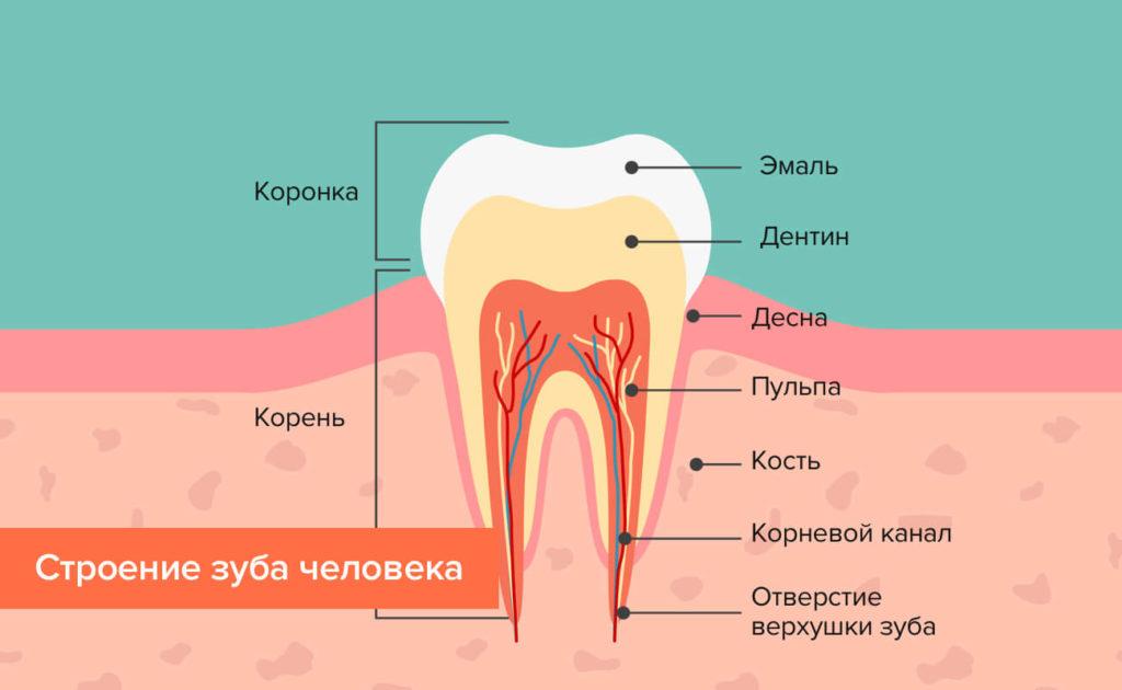 4Строение зуба.jpg