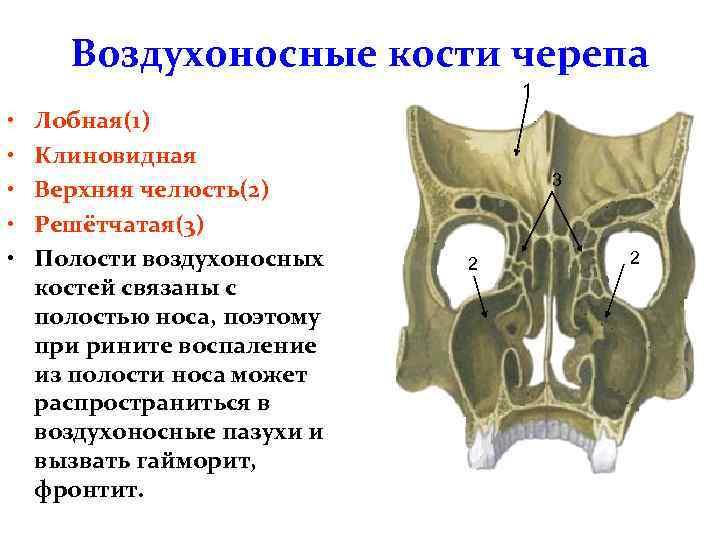 55Воздухоносные кости черепа.jpg