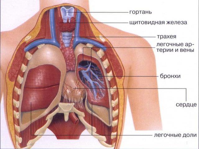 Рисунок: анатомия органов